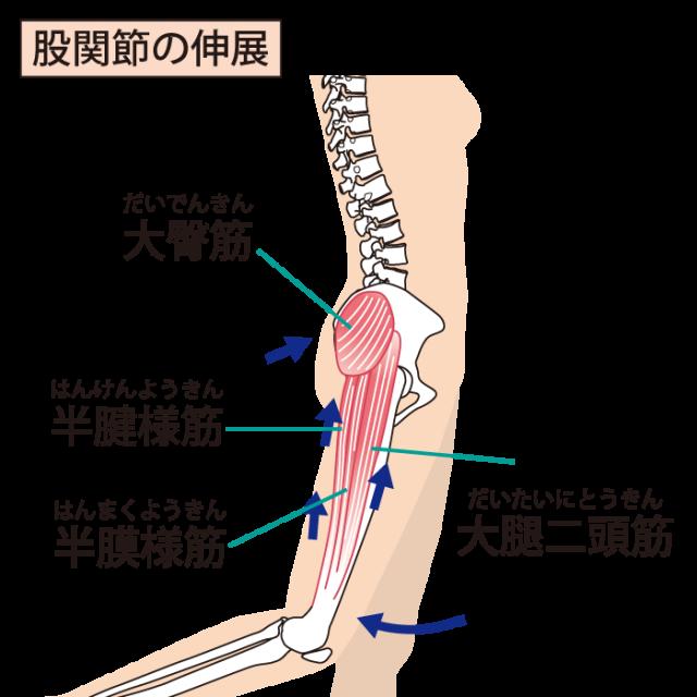 股関節の絵